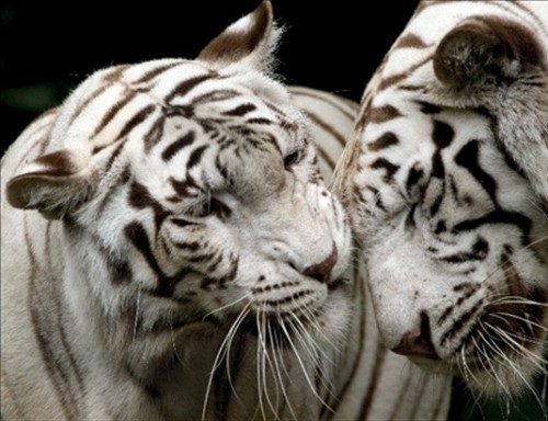 Белый тигр. (35 фото)