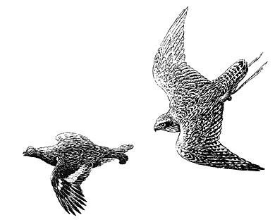 Охота на тетеревов с ловчими птицами. Часть 2.
