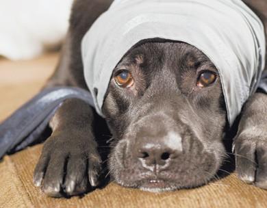 Помощь собаке при травмах на охоте.