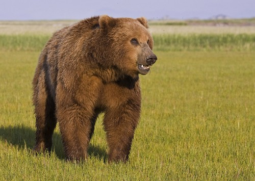 Медведи. (45 фото)