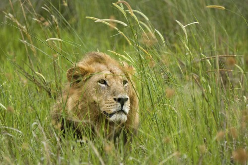 Львы. (34 фото)
