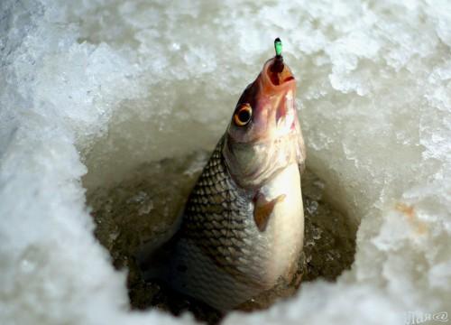 Где рыба зимует.