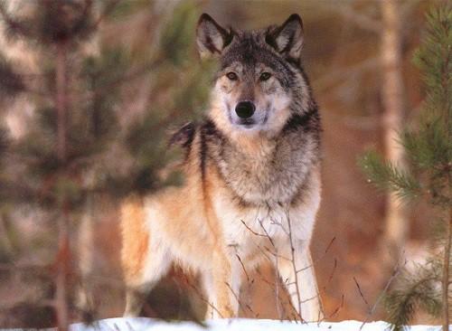 Волки. (30 фото)