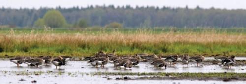 Охота на гусей весною.