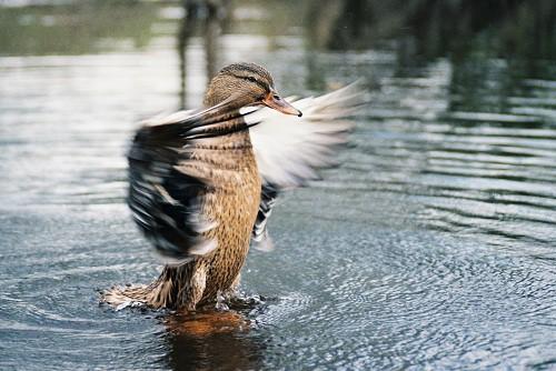 Некоторые особенности охоты на уток осенью.