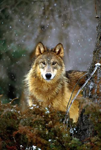Работы фотографа Art Wolfe. Волки и меведи. (29 фото)