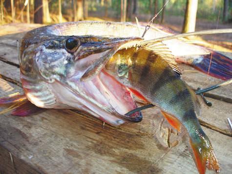 С живцом в предзимье. Часть 2. Снасти и техника ловли различных хищников на разных по типу водоемах.