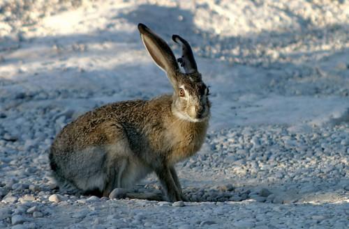 Охота на зайца по первозимью.