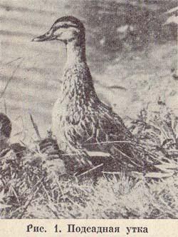 Подсадная утка и охота с ней. Рабочие качества подсадной утки.