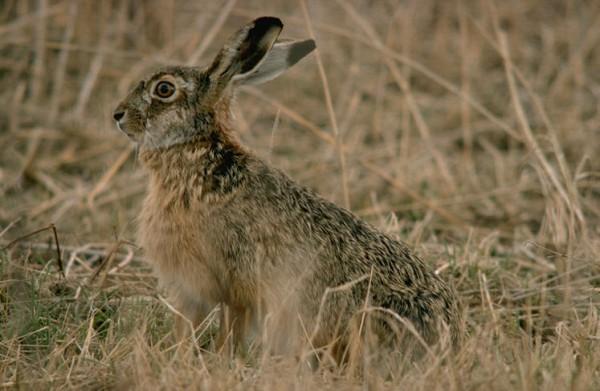 Охота на зайца. Часть 1.