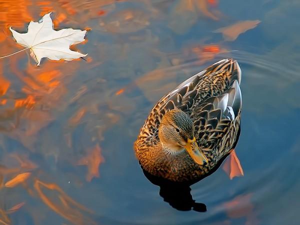Подсадная утка и охота с ней. Высадка подсадной утки.