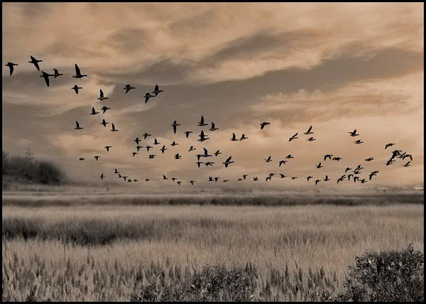 Подсадная утка и охота с ней. Поведение охотника во время охоты с подсадной уткой.