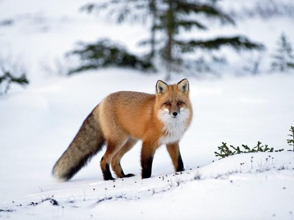 Лисица. Срок начала охоты на лисицу.