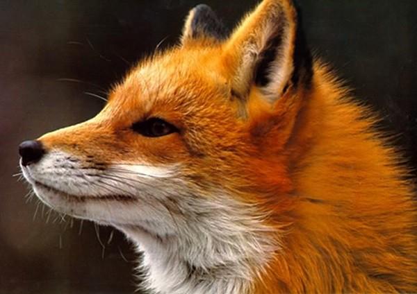 Лисица. Следы лисиц.