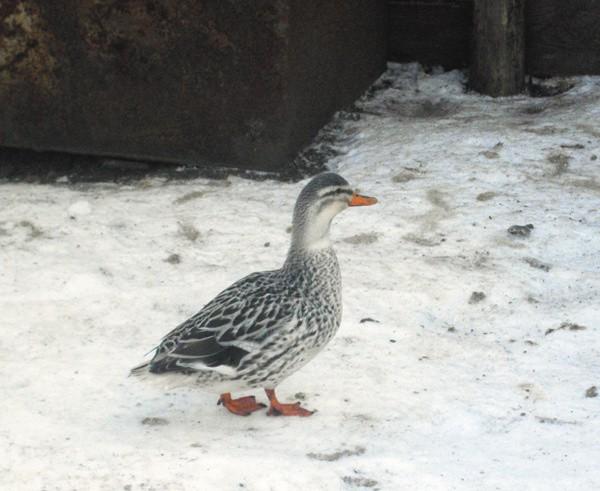 Подсадные утки на водоемах Москвы.