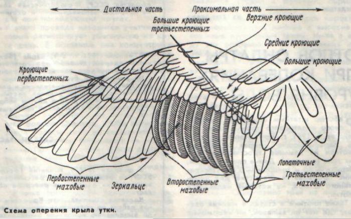Как сделать утку с крыльями