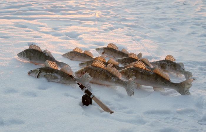 Как найти и поймать зимнего судака?