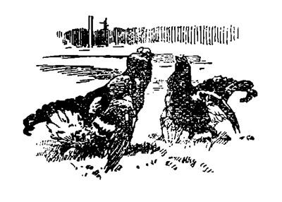 Весенняя охота по перу. Охота по тетеревам на току.