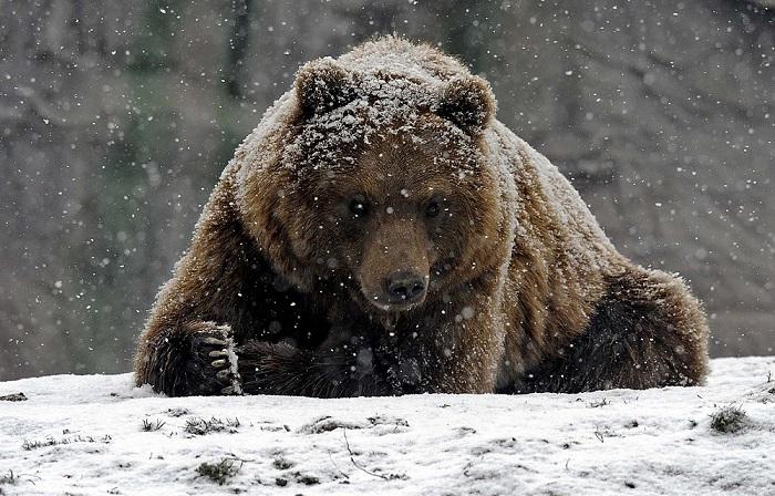 Медведь и охота на него.