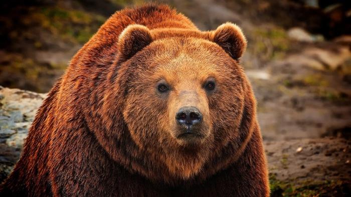 Когда медведь агрессивен.