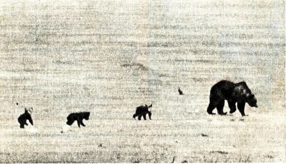 На медвежьих тропах.