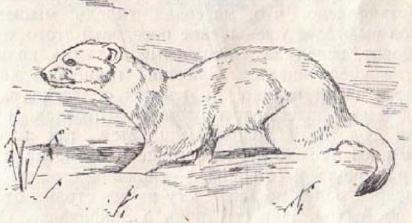 Охота на пушных зверей. Часть 7. Охота на колонка, горностая, хоря, норку и выдру.